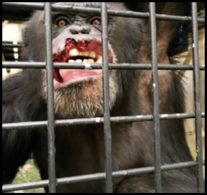 Chimpanzee mouth injury