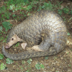 Armor is not enough to protect pangolins