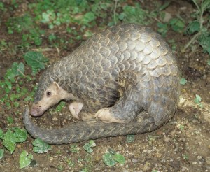 Chinese Pangolin (Manis pentadactyla ) at Kadoorie Farm & Botanical Garden wildlife rehabilitation center, Hong Kong. (Kadoorie Farm & Botanical Garden photo)