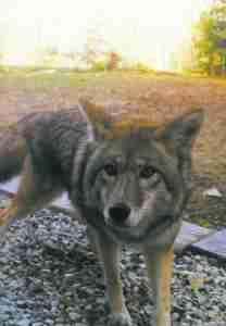 Coyote.  (Mona Lefebvre photo)