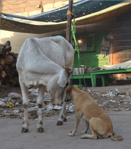 "Cows are often called ""The mothers of India."" Dogs are at times alleged to be the mothers of politicians. (Eileen Weintraub photo)"