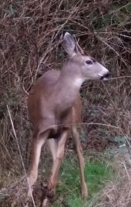 Spike buck looking out for feral cats.  (BC)