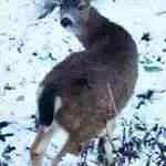 Scientist sparked revolution in deer management