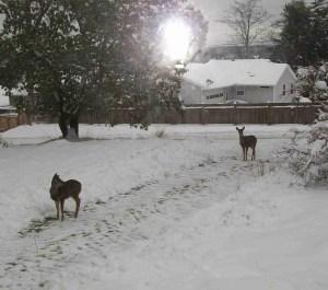 Deer in driveway.  (MC)