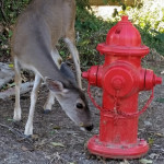 Controlling deer the natural way