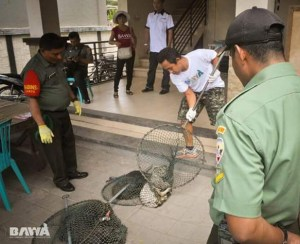 BAWA dogcatchers race to catch dogs before the cullers can. (BAWA photo)