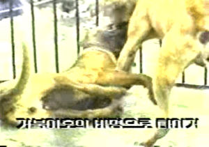 From South Korean dogfighting video.