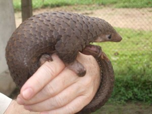 Pangolin. (Trish Conner photo)