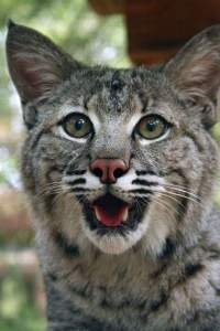 Florida bobcat at Big Cat Rescue. (Beth Clifton photo)