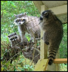 Family of Raccoons invade our house