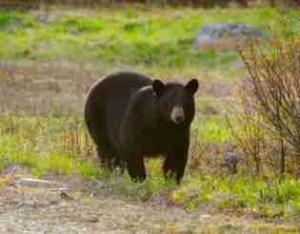 Bear resembling Chris Christie.  (HSUS photo)