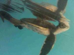 Green sea turtles. (Faye McBride photo)
