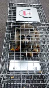 Faye's raccoon in trap