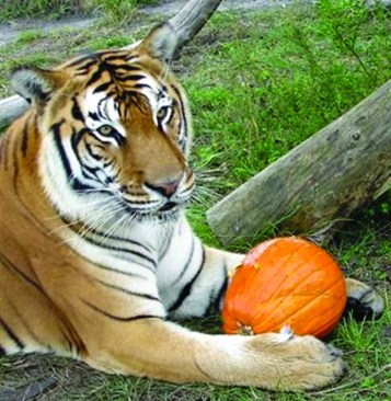 Flavio carved a pumpkin for his last Halloween. (Big Cat Rescue photo)