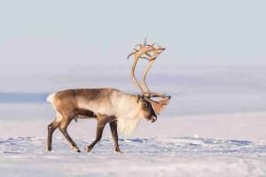Caribou. (Flickr photo)