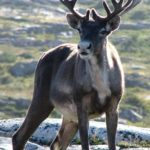"""""""Cargo cult"""" politics make caribou the bison of the Canadian North"""
