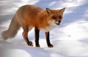 Fox in snow displaying distemper symptoms.  (Jeff Peterson photo)