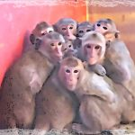 Factory-farming monkeys is A-OK with Hendry County brass