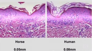 Horse epidermis is actually thinner than that of humans.