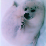 Chinese activists thwart Canadian hope of selling seal meat to China