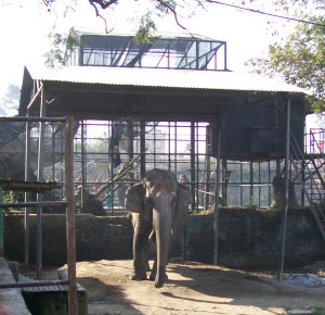 "60-year-old elephant ""retired"" from use in Nepal Central Zoo elephant ride concession to lonely boredom chained in a shed. The zoo is operated by the National Trust for Nature Conservation, for which Carol Buckley has been building sanctuary fencing, so better times may be ahead for this elephant, if she is still alive. (Merritt Clifton photo, January 2014)"