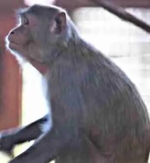 Katie the Macaque