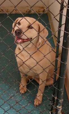 Lab in shelter