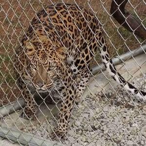 Leopard. (Beth Clifton photo)