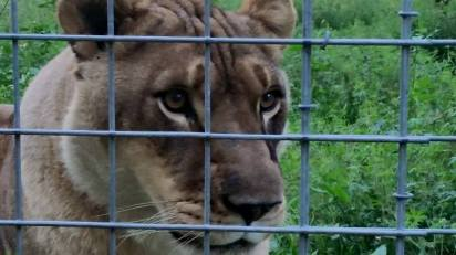 A liger, bred by crossing a lion with a tiger, at Big Cat Rescue. Ligers do not occur in the wild. (Beth Clifton photo)