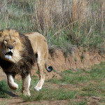 "U.S. proposal to ""protect"" African lions hands their heads to hunters"