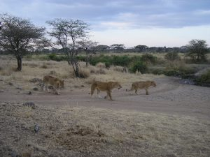 Lions in Kenya.  (Elissa Free photo)