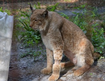 This lynx recently underwent a veterinary procedure; note the leg shaved for an intravenous catheter. (Beth Clifton photo)