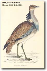 MacQueen's bustard has only recently been recognized as a separate species from the Houbara bustard.