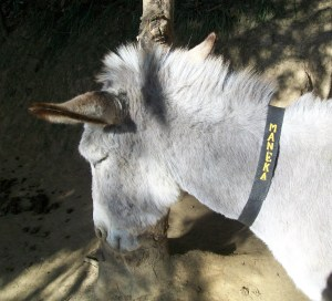 """Said People for Animals founder Maneka Gandhi of her namesake donkey, """"She is a lot prettier than I am!"""""""