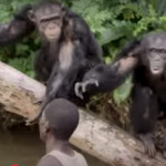 Abandoning Vilab II chimps in Liberia,  New York Blood Center did it before in Ivory Coast,  SAEN charges
