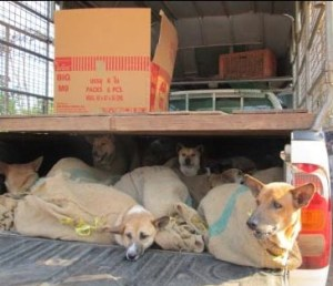 More dogs rescued from smugglers by the Soi Dog Foundation.  (SDF photo)