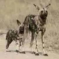 African wild dogs (PaintedDog.org)
