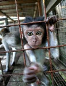 Caged macaque. (Louis Ng photo)