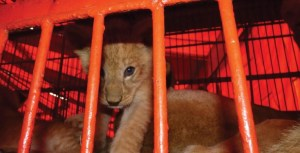 Lion cub rescued from Peruvian circus by Animal Defenders International.