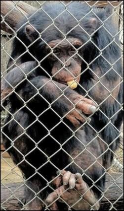 Daphne the chimp