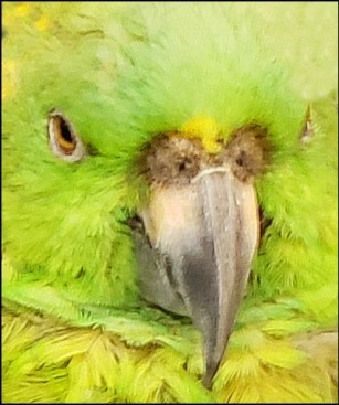 Amazon parrot 2