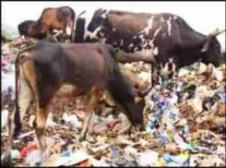 Cows on trash pile