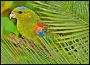 Fuertes' parrot