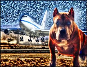 747 & pit bull