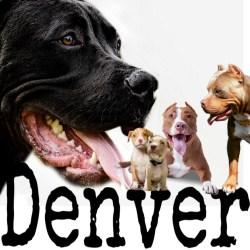 Denver pit bulls