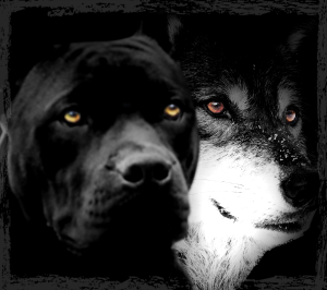 Wolf and pit bull