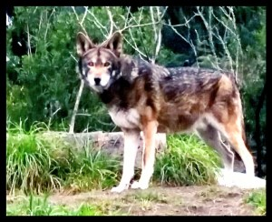 The Wolf in Dog's Clothing – Animals 24-7