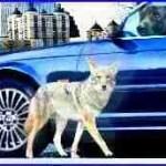 Pit bulls kill seven,  so Georgia pushes killing coyotes