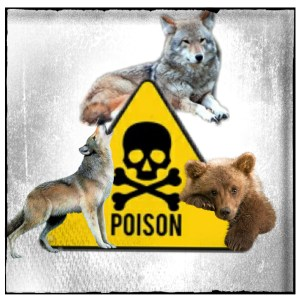 Wolves, grizzly, poison