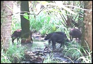 Feral pigs in Florida swamp